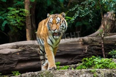 Fototapet tiger