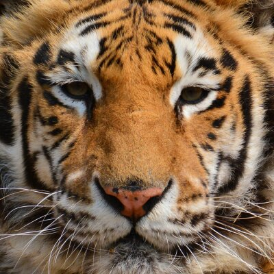 Fototapet Tiger ansikte Närbild