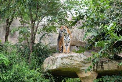 Fototapet Tiger är en våldsam hastighet.