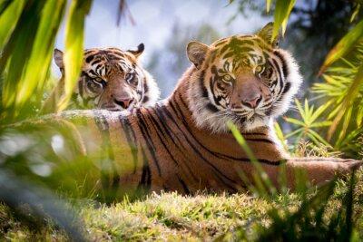 Fototapet Tiger Brothers