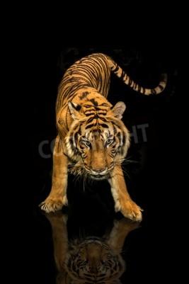 Fototapet tiger gå svart bakgrund