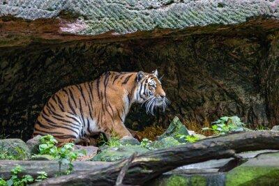 Fototapet Tiger i grotta