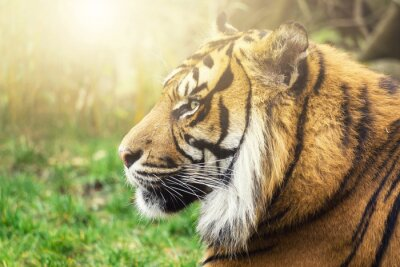 Fototapet Tiger i profil med sidor solen i ansiktet