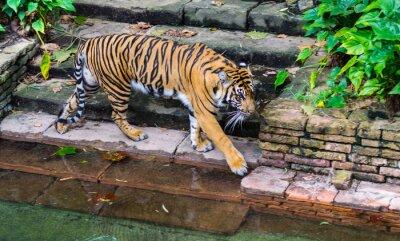 Fototapet Tiger nära vattenhål