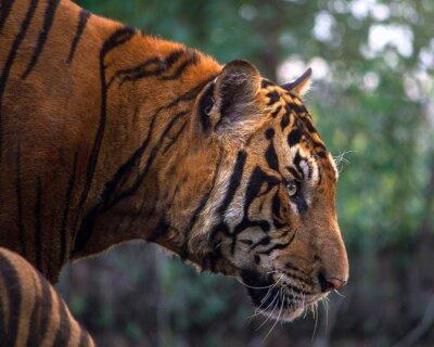 Fototapet Tiger, porträtt av en bengal tiger
