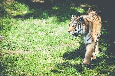 Fototapet tigre