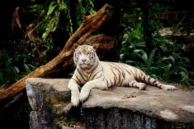 Fototapet tigre allongé