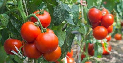 Fototapet tillväxt tomat