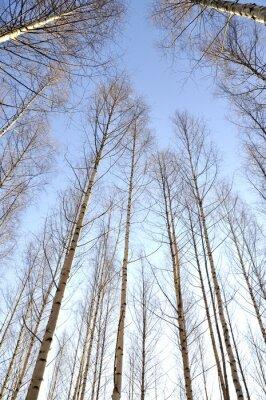 Fototapet Tittar uppåt vita stammar i en grupp av nakna björkar