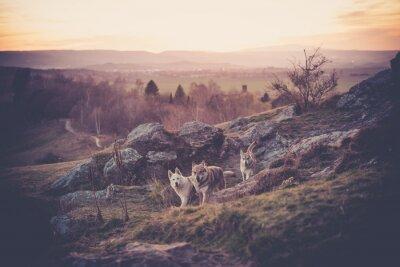 Fototapet Tjeckoslovakiska Woflshundrudel fritt springande i bergen