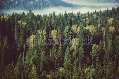 Fototapet tjock dimma täckt med tjock barrskog.