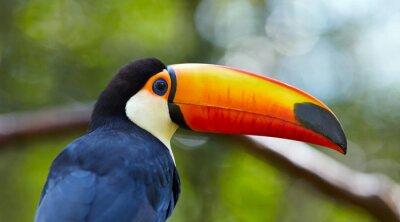 Fototapet Toucan på grenen i tropisk skog Brasilien