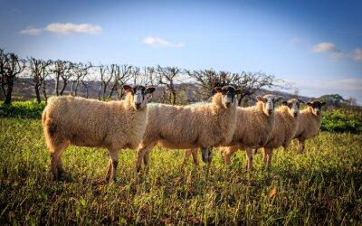 Fototapet Tradycyjne angielskie Owce