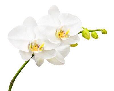 Fototapet Tre dagar gamla orkidé isolerad på vit bakgrund.