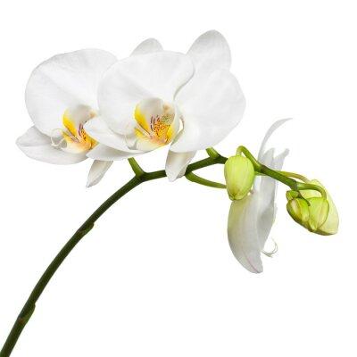 Fototapet Tre dagar gammal vit orkidé isolerad på vit bakgrund.