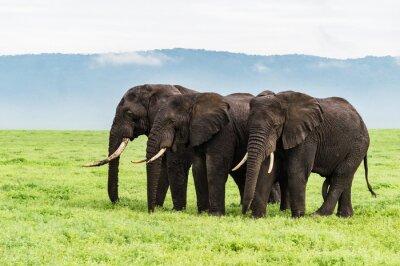 Fototapet tre elefanter som står i en rad på Ngorongora kratern