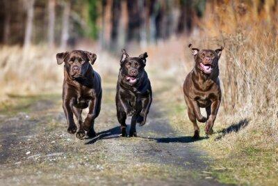 Fototapet tre lyckliga hundar som kör tillsammans