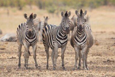 Fototapet Tre zebror, Kruger Park, Sydafrika