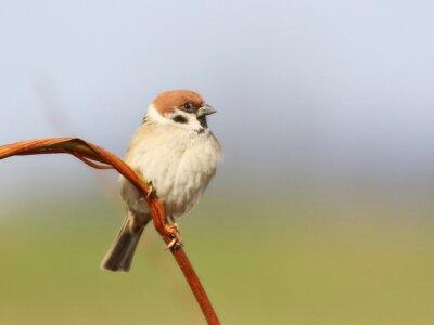 Fototapet Tree Sparrow på gren, Passer montanus