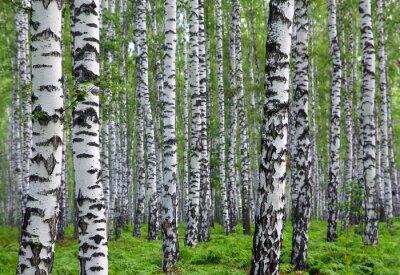 Fototapet trevlig sommar björkskog
