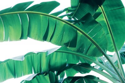 Fototapet Tropical green leaves pattern on white background, lush foliage of banana palm leaves the tropic plant.