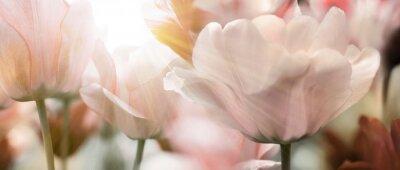 Fototapet tulpen licht sonnenstrahlen