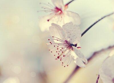Fototapet Två blommor av körsbär närbild
