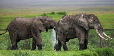 Fototapet Två elefanter i Savannah. Afrika. Kenya. Tanzania. Serengeti. Maasai Mara. En utmärkt illustration.