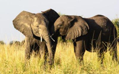 Fototapet två givna elefanter