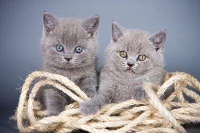 Fototapet Två grå kattunge brittiska och rep på en grå bakgrund