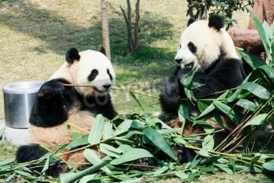 Fototapet Två jättepandor äter bambu