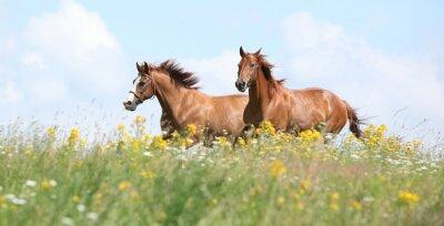 Fototapet Två kastanj hästar körs tillsammans