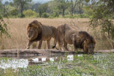 Fototapet två lejon bröder vid vattenhålet