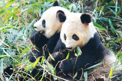 Fototapet Två Panda björnar äter bambu, sitter sida vid sida, Kina