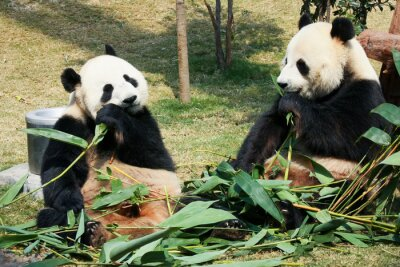 Fototapet Två pandor äter bambu