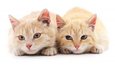 Fototapet Två röda katter.