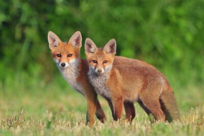 Fototapet Två röda rävar