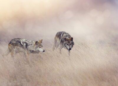 Fototapet Två Wolves i högt gräs