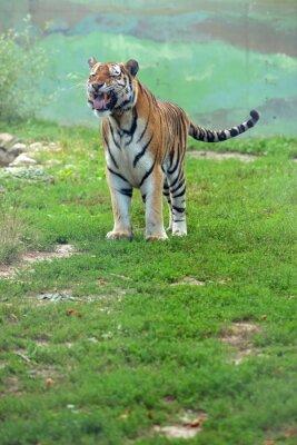 Fototapet tygrys bengalski