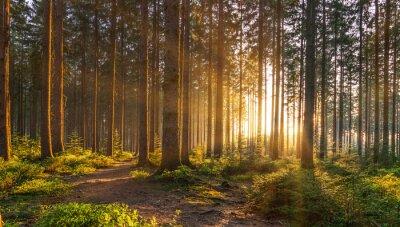 Fototapet Tyst skog på våren med vackra ljusa solstrålar