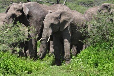 Fototapet Ung afrikansk elefant i besättningen