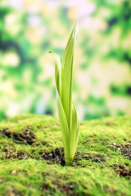 Fototapet Ung spira på våren, närbild