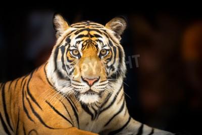 Fototapet Unga siberian tiger på mörk bakgrund i handling att se till kameran