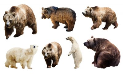 Fototapet Uppsättning av många björnar. Isolerat
