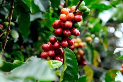 Fototapet Utmärkt kaffe från Costa Rica.