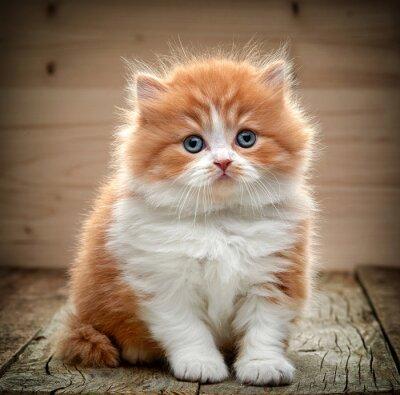 Fototapet vacker brittiskt långhår kattunge