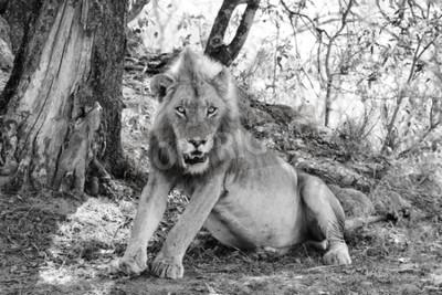 Fototapet vacker lejon