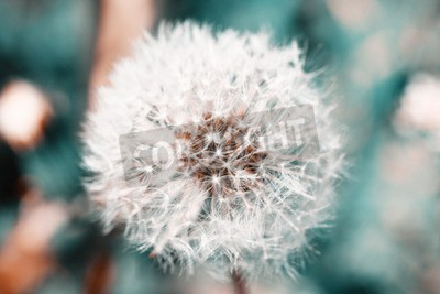 Fototapet Vacker maskros med frön, närbild