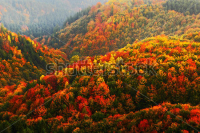 Fototapet Vacker orange och röd höstskog, många träd på apelsinhöjderna, Bohemian Switzerland National Park, Tjeckien.
