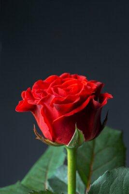 Fototapet Vacker röd ros